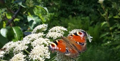 Hoe rupsje nooitgenoeg een vlinder werd